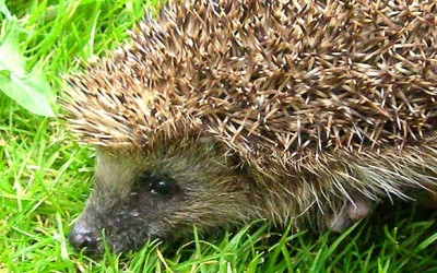 Hedgehog Care Fund Raising