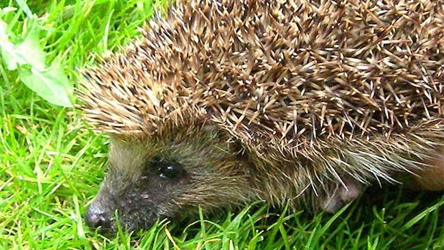 Hedgehog Care Fund Raising